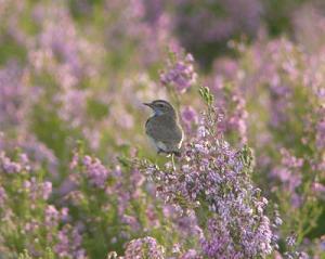 Ecologistas en Acción defiende la biodiversidad: pechiazul.